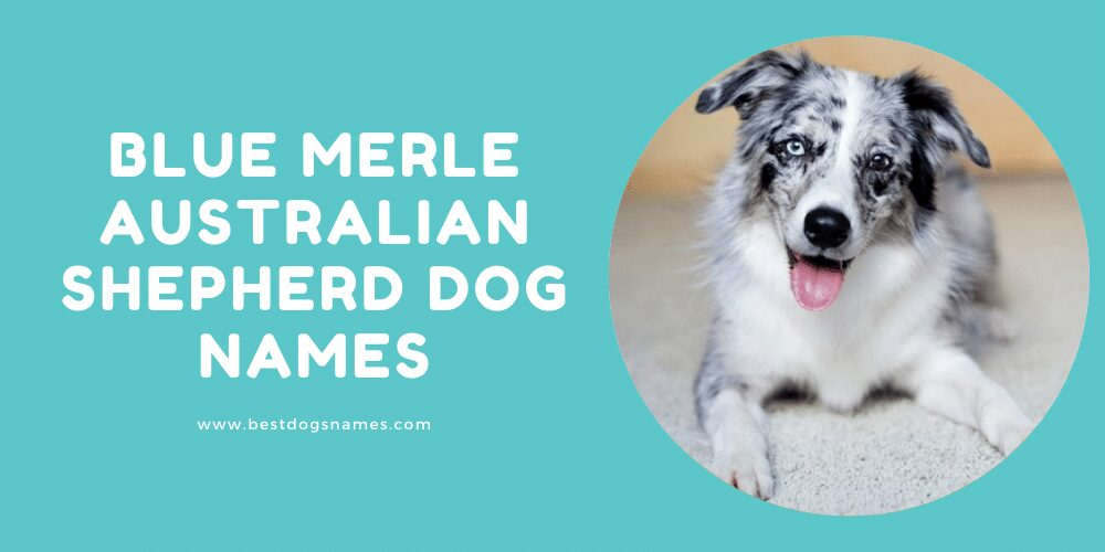 Blue Merle Australian Shepherd Dog Names