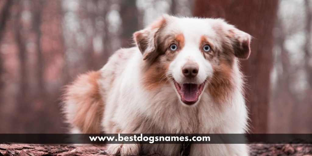 Choosing Best Australian Shepherd Names