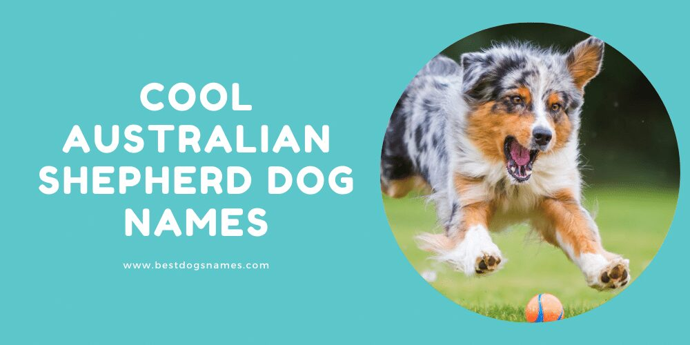 Cool Australian Shepherd Dog Names