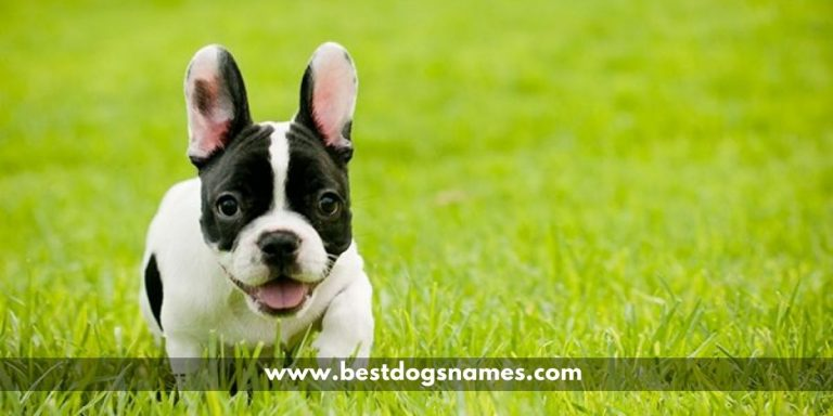 Most Popular Male and Female French Bulldog Dog Names – List in 2020