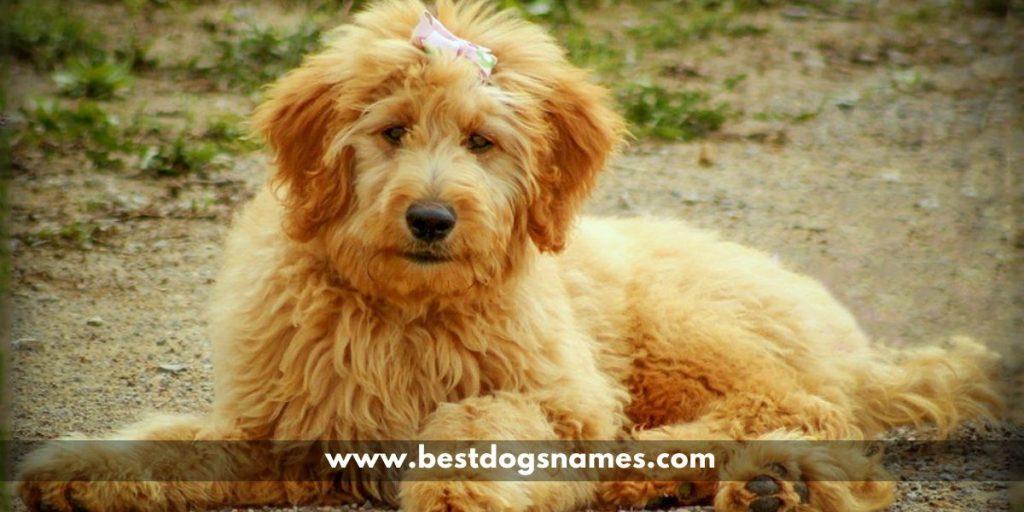 goldndoodle-dog-names