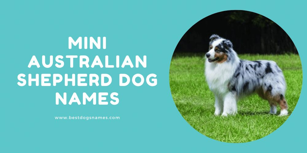 Mini Australian Shepherd Dog Names