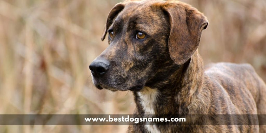 Most Popular Male and Female Brindle Dog Names in {2020}