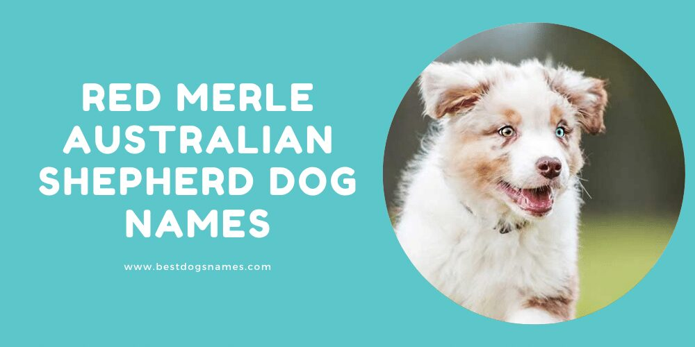 Red Merle Australian Shepherd Dog Names