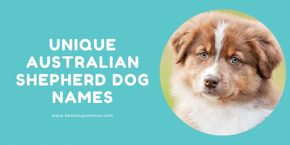 Unique Australian Shepherd Dog Names