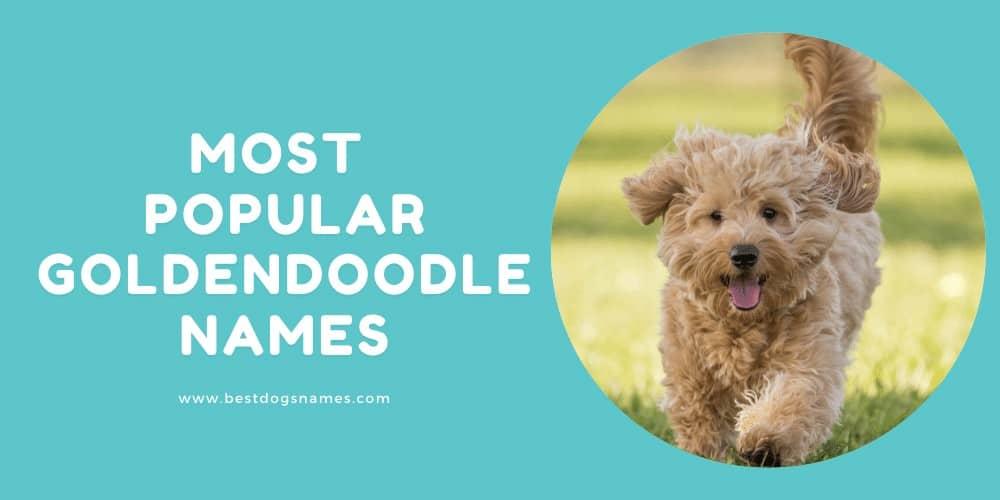Most Popular Goldendoodle Names